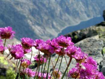 Armeria alpina